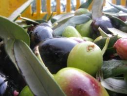 olive del 2008